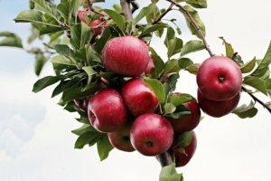 Blattläuse am Apfelbaum