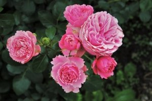 Blattläuse an Rosen