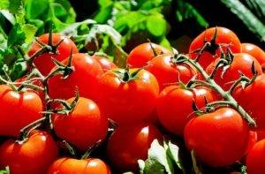 Blattläuse an Tomaten